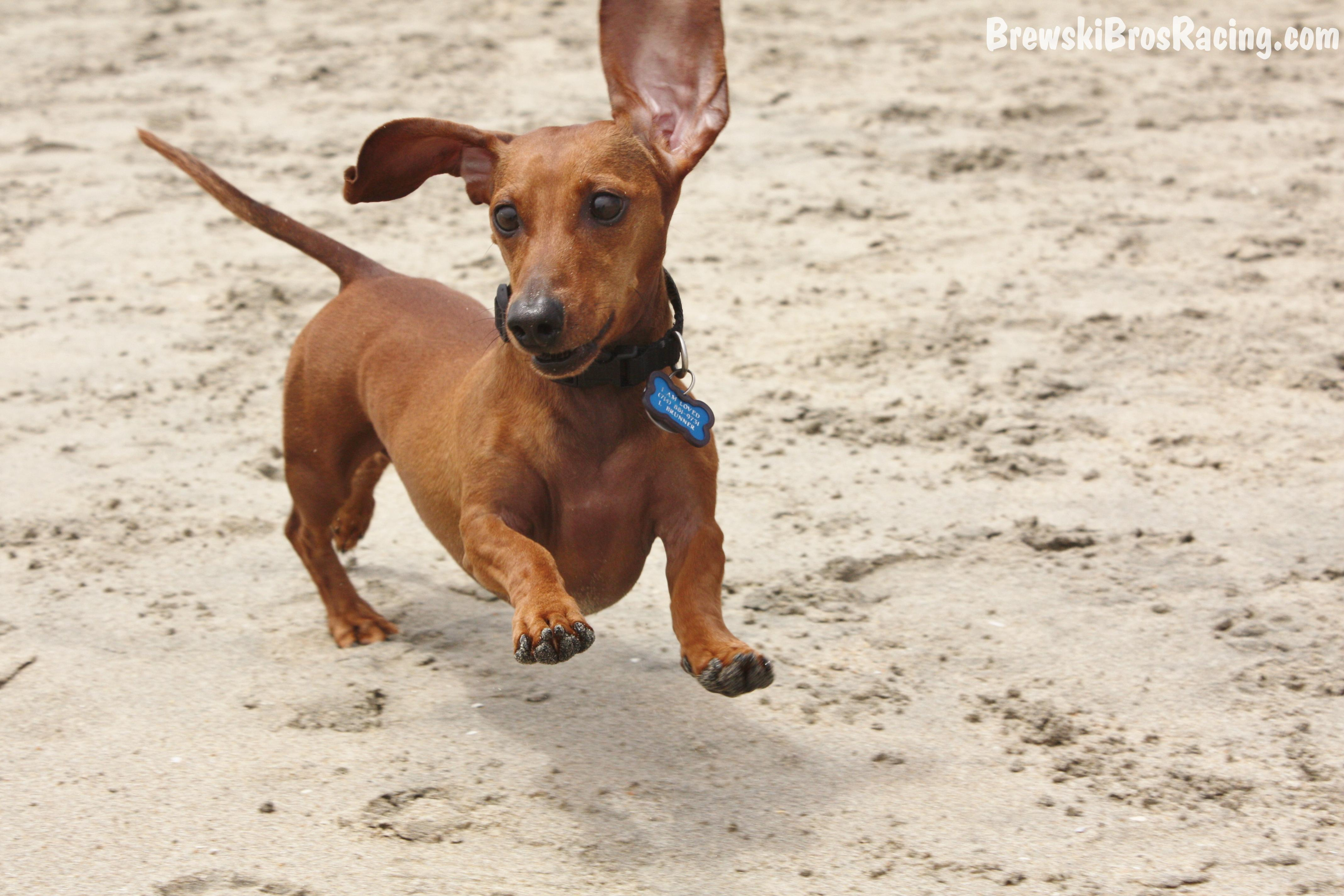 The Longest Wiener Dog Ever Recorded in addition Dachshund Races in addition Tres Perros Pit Bull Matan Nina En together with Animals General moreover Dachshund Teckel Perro Salchicha. on weiner dog races